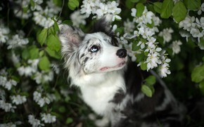 Picture eyes, look, face, leaves, flowers, branches, nature, pose, background, portrait, dog, spring, garden, beauty, white, …