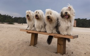 Picture sand, dogs, beach, bench, shop, company, hairstyles, sitting, hairy