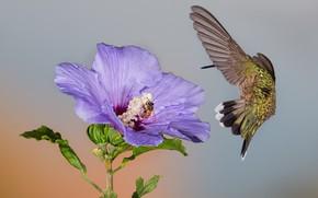 Picture flower, macro, bee, Hummingbird