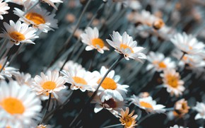 Picture chamomile, flowering, bokeh