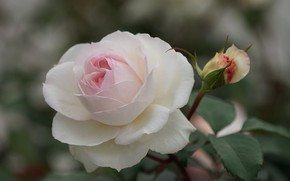Picture close-up, rose, petals, Bud, bokeh