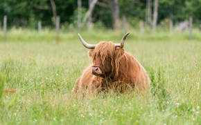 Picture summer, grass, face, nature, background, stay, glade, cow, meadow, red, lies, horns, brown, lawn, bull, …