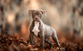 Picture autumn, look, leaves, nature, pose, grey, background, mood, foliage, dog, paws, baby, puppy, walk, face, ...