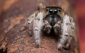 Picture look, macro, background, tree, black, spider, bark, brown, eyed, blurred, jumper, the Hoppy, magnetic