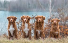 Picture autumn, dogs, grass, look, nature, shore, red, company, friends, pond, Quartet, Retriever, sitting, four, Nova …