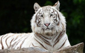 Picture white, look, face, tiger, the dark background, portrait