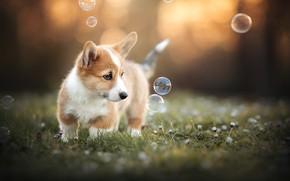 Picture flowers, dog, bubbles, puppy, bokeh, doggie, Welsh Corgi