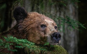 Picture face, bear, beast