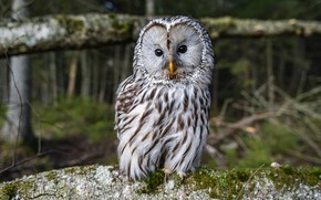 Picture look, owl, bird, owl