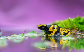 Picture water, macro, reflection, moss, frog, striped, lilac background, black-yellow