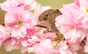 Picture flowers, branches, cherry, background, spring, mouse, Sakura, mouse, muzzle, pink, flowering, rodent, drain, field, the …