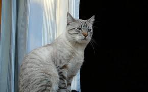 Picture window, sitting, on the windowsill, grey cat