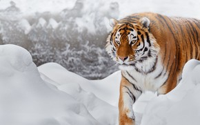 Picture winter, look, face, snow, tiger, background, paws, the snow, walk, snowfall, is, handsome