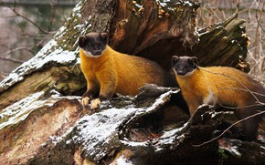 Picture winter, look, snow, pose, tree, two, stump, animals, pair, snag, a couple, Duo, marten, marten, …