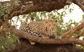 Picture cat, nature, tree, predator, leopard