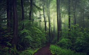 Picture forest, fog, photo, the evening