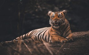 Picture tiger, the dark background, mouth, lies, log