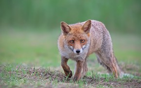 Picture grass, look, face, nature, pose, background, Fox, walk