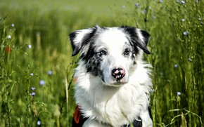 Picture field, grass, look, face, background, portrait, dog, spotted, Aussie