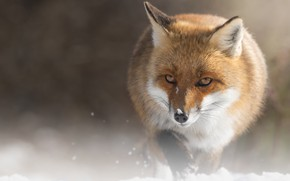 Picture winter, look, face, snow, nature, pose, Fox, sneaks, bokeh