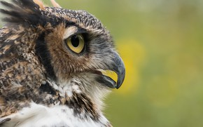 Picture nature, bird, Great Horned Owl