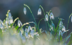 Picture light, flowers, nature, background, glade, spring, snowdrops, gentle, buds