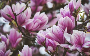 Picture flowers, close-up, branches, spring, pink, flowering, Magnolia