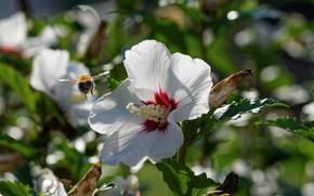 Picture bee, bokeh, hibiscus