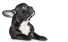 Picture white, black, puppy