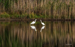 Picture grass, water, birds, nature, river, shore, pair, white, the bushes, herons