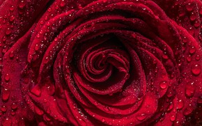 Picture drops, macro, red, rose