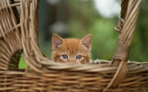 Picture animal, basket, head, cub, kitty