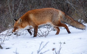 Picture winter, forest, snow, nature, Fox, red, Fox