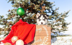 Picture winter, look, balls, snow, branches, red, nature, pose, holiday, the inscription, balls, dog, baby, Christmas, …