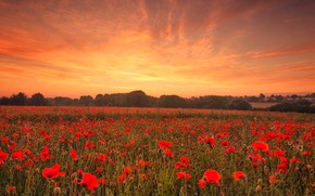 Picture field, the sky, clouds, trees, landscape, sunset, flowers, nature, mood, Mac, Maki, beauty, the evening, …