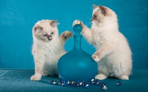 Picture look, glass, cats, pose, kitty, background, blue, the game, legs, light, pair, kittens, white, kitty, …