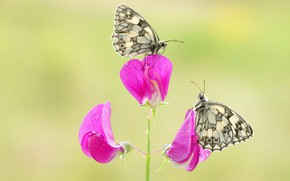 Picture macro, butterfly, flowers, insects, background, butterfly, two, pair, pink, white, a couple, Duo, motley, sweet …