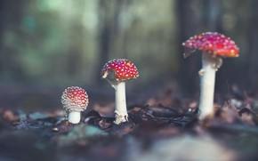 Picture forest, leaves, nature, mushrooms, mushroom, mushroom, Amanita, trio, bokeh, family