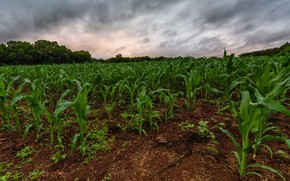 Picture field, nature, corn