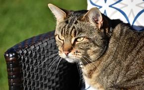 Picture cat, cat, look, face, light, grey, portrait, chair, striped