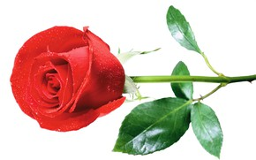 Picture flower, rose, white background, red rose
