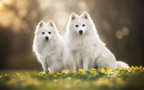 Picture flowers, a couple, bokeh, two dogs, The Japanese Spitz