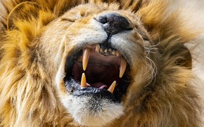 Picture face, Leo, mouth, mane, the king of beasts, fangs, grin, wild cat