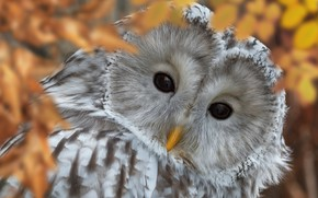 Picture look, owl, bird, Oleg Bogdanov, The Ural owl