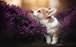 Picture dog, puppy, doggie, Heather, Welsh Corgi