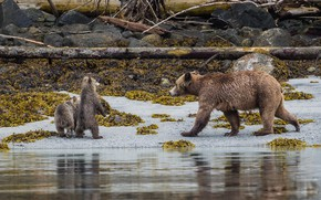 Picture Beach, Grizzly, Bears