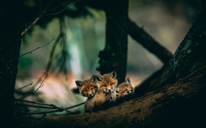 Picture forest, look, trees, branches, nature, the dark background, background, trunk, Fox, log, kids, trio, asylum, …
