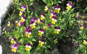 Picture Flowerbed, Pansy, Mamala ©, Spring 2018