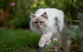 Picture greens, cat, summer, cat, look, pose, blur, garden, muzzle, white, walk, sneaks, bokeh, ragdoll