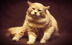 Picture cat, look, light, pose, the dark background, background, cat, treatment, paws, wool, fluffy, red, pers, ...